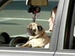 Do we really need a law telling motorists they can't pet their dogs while driving? Nanny state bureaucrats in Troy, Mich., think so ...